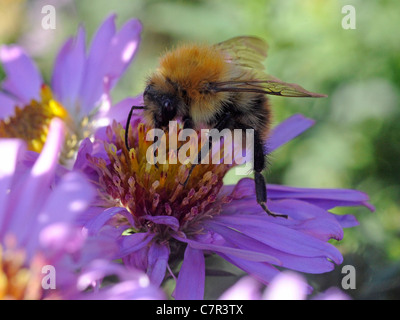 A bee collecting nectar from a purple flower. - Stock Photo