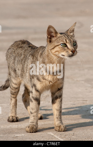 A stray 'Tom' cat seen in Istanbul, Turkey. - Stock Photo