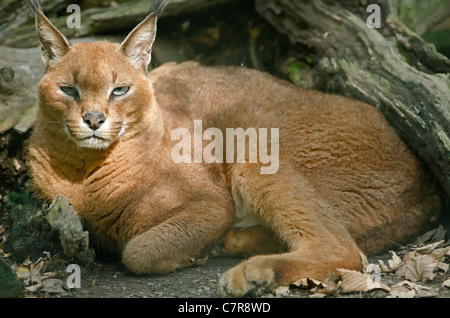Photo of a Caracal in captivity, also known as a Persian Lynx, Egyptian Lynx and African Lynx. - Stock Photo