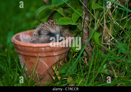Hedgehog (Erinaceus europaeus) foraging in baited garden plant pot Norfolk. - Stock Photo