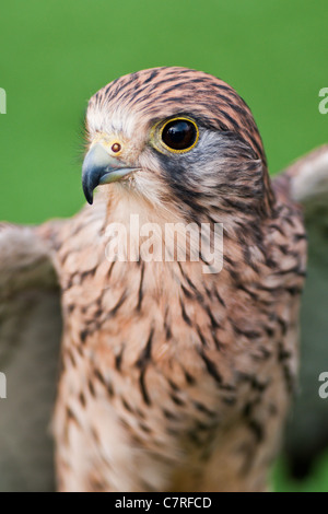 The Common Kestrel (Falco tinnunnculus)  also known as Eurasion or European Kestrel. - Stock Photo