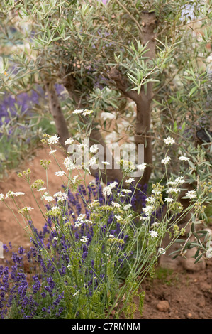 Orlaya grandiflora in the Lavender and Olive Grove, RHS Edible Garden at 2011 Hampton Court Palace Garden, UK - Stock Photo