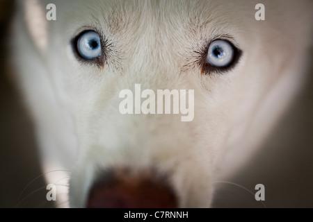 White Siberian Husky-close-up - Stock Photo