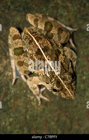 Asian Grass Frog Fejervarya limnocharis - Stock Photo