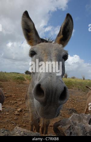 Rescued donkey at the Donkey Sanctuary, Bonaire, Netherlands Antilles, Caribbean - Stock Photo