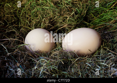 two eggs in the nest - Stock Photo