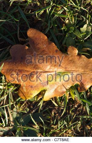 Autumn Oak leaf on grass - Stock Photo