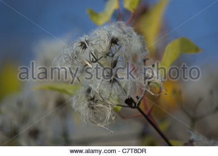 Old Man's Beard, Traveller's Joy,  Clematis Vitalba  seed head aka Beggar's Herb, Rascal's Herb and herbe aux gueux - Stock Photo