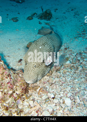 An injured Map Puffer fish lying on the sand floor - Stock Photo