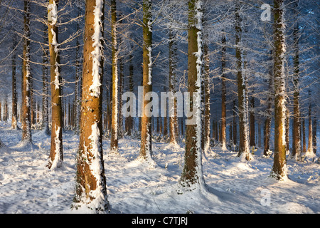 Hoar frosted trees in a snowy winter woodland, Morchard Wood, Devon, England. Winter (December) 2010. - Stock Photo