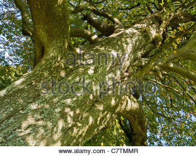 Aesculus hippocastanum large deciduous Horse-chestnut Conker tree. - Stock Photo