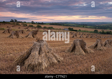 Corn stooks in a Devon field at sunset, Newbuildings, Devon, England. Summer (July) 2011. - Stock Photo