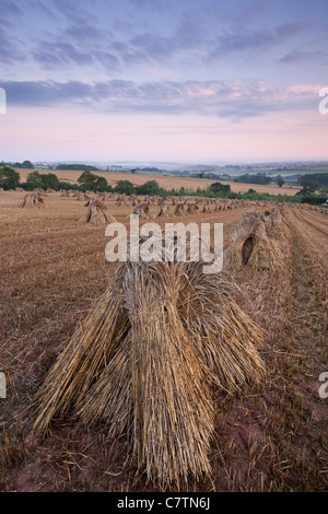 Corn stooks in a Devon field at dawn, Newbuildings, Devon, England. Summer (July) 2011. - Stock Photo