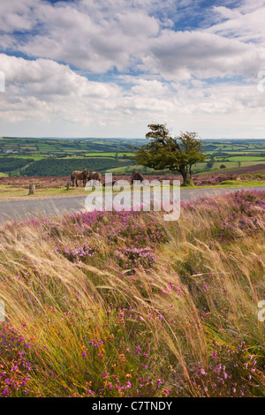 Exmoor Ponies on Dunkery Hill, Exmoor, Somerset, England. Summer (August) 2011. - Stock Photo