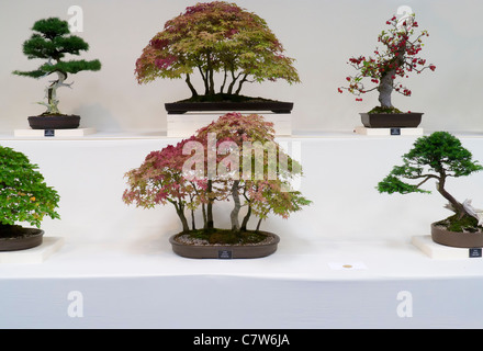 Malvern Autumn Show, England- gold medal bonsai display - Stock Photo