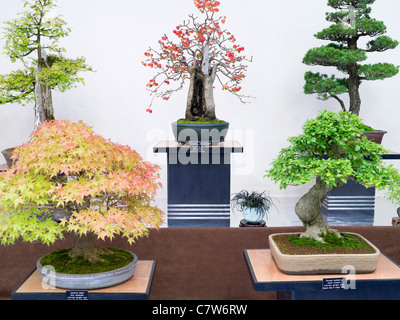 Malvern Autumn Show, England- superb bonsai display 2 - Stock Photo