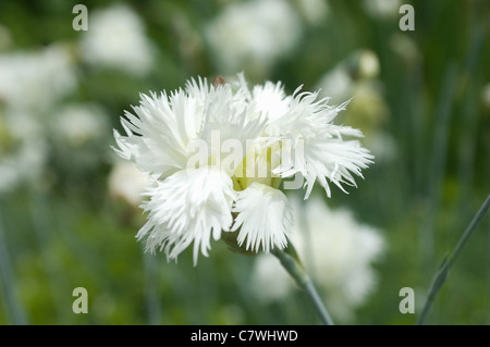 White Dianthus - Stock Photo