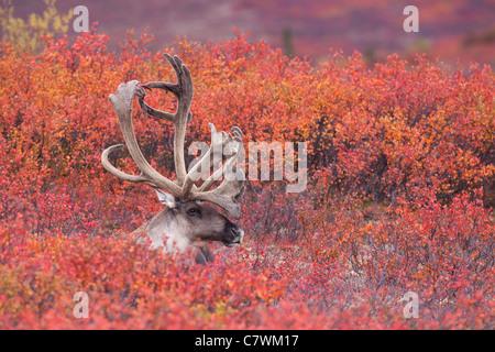 Bull caribou, Denali National Park, Alaska. - Stock Photo