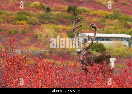 Bull caribou watching tour bus in Denali National Park, Alaska.