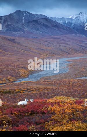 Dall's sheep in Polychrome Pass, Denali National Park, Alaska. - Stock Photo
