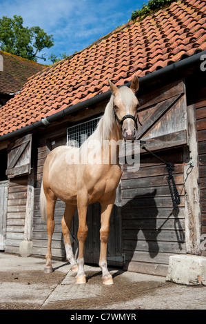 Beige Pony standing tethered outside stable barn in summer in south east england - Stock Photo