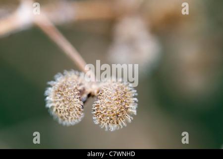 Goosegrass or Cleavers; Galium aparine; Cornwall; UK - Stock Photo