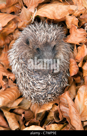 Hedgehog; Erinaceus europaeus; in leaves; UK - Stock Photo