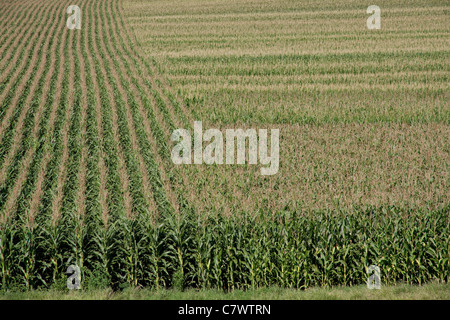 Corn Crop rural Iowa USA - Stock Photo