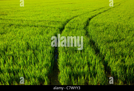 green grass rice field in Spain with tractor wheels footprint - Stock Photo