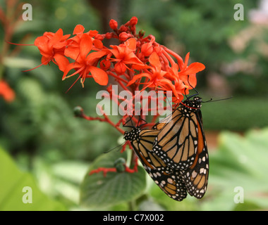 Monarch butterflies on orange flowers. Benalmadena Butterfly Park, Benalmadena Pueblo, Málaga, Costa del Sol, Spain. - Stock Photo