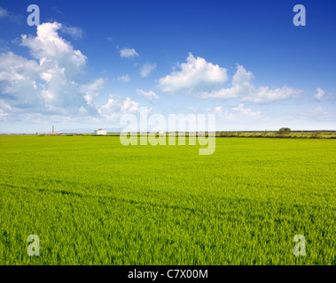 green grass rice field in Valencia El Saler Spain - Stock Photo