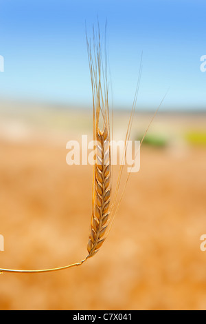 alone cereal spike in wheat golden field - Stock Photo
