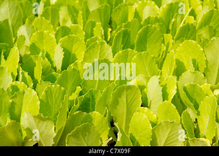lettuce green little sprouts growing to be plant out in fieds - Stock Photo