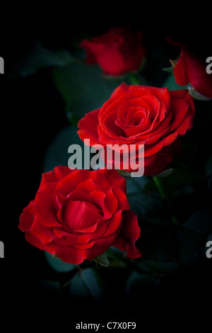 Two red roses on black background Stock Photo: 91249834 ...