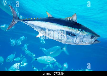 Bluefin tuna Thunnus thynnus saltwater fish in mediterranean - Stock Photo