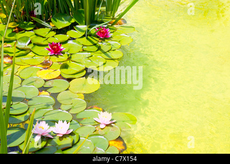Nenufar Water Lilies on green water pond with clean water - Stock Photo