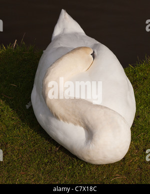 Sleeping swan in the gardens of  Chatsworth House Derbyshire,UK - Stock Photo