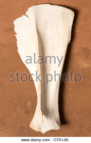 Camel shoulder bone found in Sahara Desert by explorer Kypros near well 2000 - Stock Photo