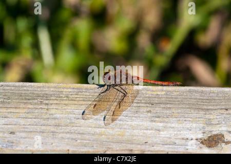 Common Darter Sympetrum striolatum Male Dragonfly UK Dragonflies - Stock Photo