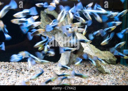 Guppies in tank - Stock Photo