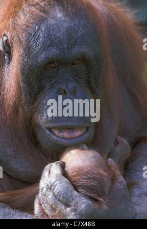 Bornean Orangutan  (Pongo pygmaeus) Proud mother and child - Stock Photo