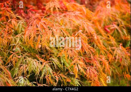 Acer palmatum dissectum, Cut-Leaved or Japanese Maple - Stock Photo