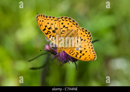 High Brown Fritillary (Argynnis adippe) feeding on thistle flowerhead - Stock Photo