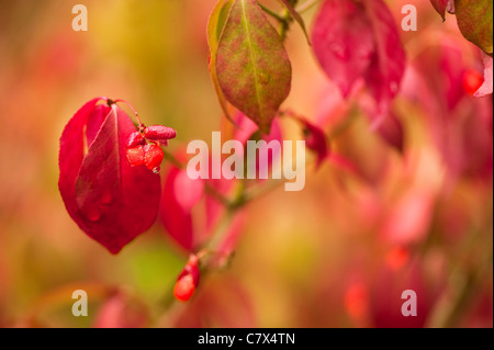 Euonymus alatus f. subtriflorus, Winged Spindle Tree, in early autumn - Stock Photo