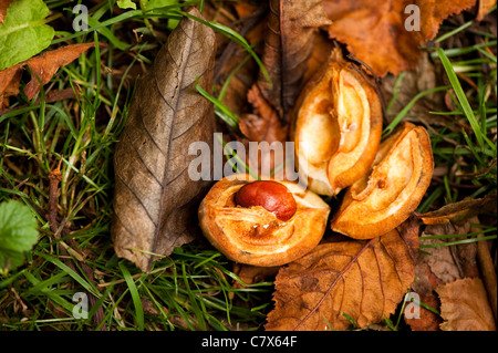 Aesculus x carnea, Red Horse Chestnut - Stock Photo