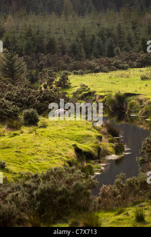 Ireland, Co Wicklow, Glenmalure, sheep grazing in pasture on banks of Avonbeg River - Stock Photo