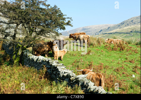 Highland cattle grazing in a field in the Lake District, Cumbria, England - Stock Photo
