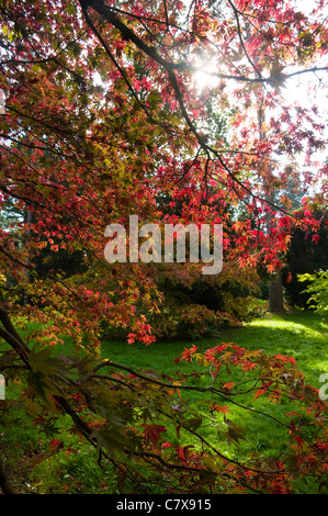 Sunlit Japanese Maple Tree Leaves with Autumn Colour. UK. - Stock Photo
