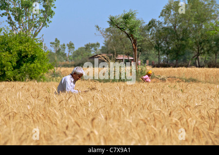 Farmer in wheat field Karauli Rajasthan India - Stock Photo