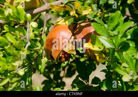South Eastern Turkey, Upper Mesopotamia, Adiyaman. Pomegranate ripening on tree, broken with seeds. - Stock Photo
